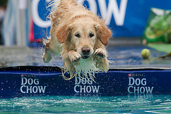 61539531<br /> A dog jumps into the water during a dog diving competition in Budapest, Hungary on May 18, 2014. Dog diving is free time sport testing the skill of the dogs. The owner throws a toy into the pool and the dog jumps into the water to retrieve it. Some dogs enjoy it, while some simply skip the task. Rules of the competition strictly forbid for the owners to toss the dogs into the water. It is a game the dog must enjoy and want to cooperate, Hungary, Sunday, 18th May 2014. Picture by  imago / i-Images<br /> UK ONLY