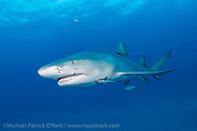 A Lemon Shark, Negaprion brevirostris, swims offshore Jupiter, FL.