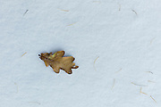 Oak leaf and pine leaves in the snow in frosty winter weather, The Cotswolds, UK