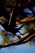 Anhinga taking flight