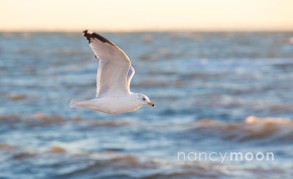 Seagull in Connecticut in the winter. <br />