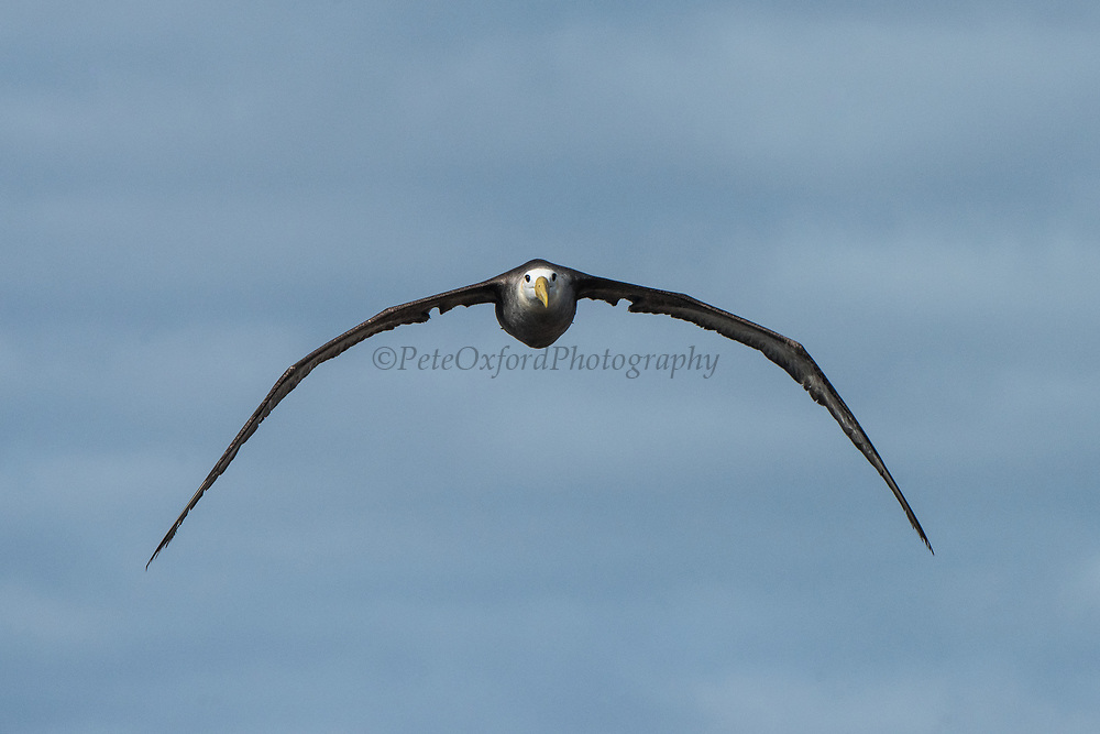 Waved albatross (Phoebastria irrorata)<br /> Punta Suarez <br /> Española Island<br /> Galapagos<br /> Ecuador, South America<br /> ENDEMIC<br /> critically threatened