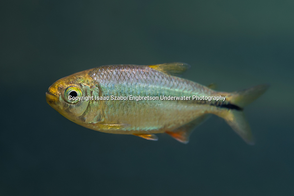 Mexican Tetra<br /> <br /> Isaac Szabo/Engbretson Underwater Photography