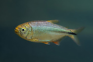 Mexican Tetra<br />