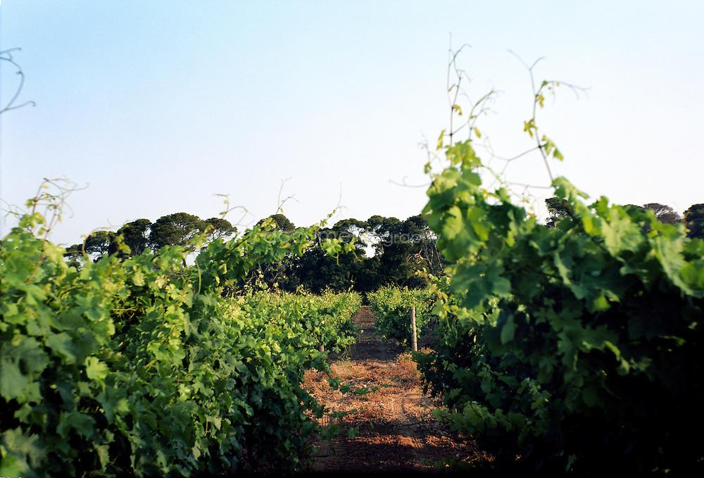 Le vignes du Domaine de La Courtade