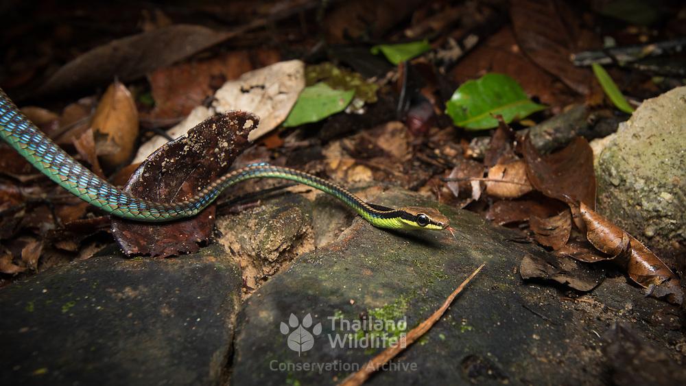 Blue Bronzeback (Dendrelaphis cyanochloris) in Mueang Krabi, Thailand
