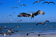 USA, Vereinigte Staaten von Amerika: Braunpelikan (Pelecanus occidentalis),  Schwarm im Landeanflug auf den Strand, Indian Shores, Florida, USA. |  USA, United States of America, Florida, Indian Shores: A flight of Brown Pelicans (Pelecanus occidentalis) is landing on the beach. |