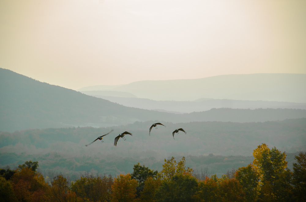 Four sandhill cranes take flight over meadow on Bald Mountain, Norfolk, Connecticut