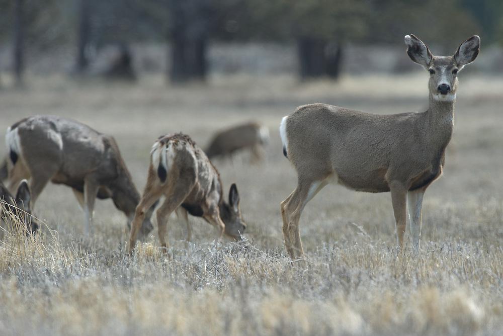 Mule deer feeding in a field