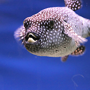 Polkadot tropical fish.<br />