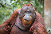 Portait of a wild, dominant male Bornean orangutan (Pongo pygmaeus) in Tanjung Puting National Park, Borneo, Indonesia.