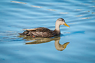 A black duck swimming in Round Cove in Harwich.