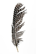 close up of a black and white dotted bird feather