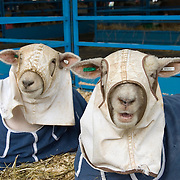 Shorn Sheep in Blanket Coverings at the Dutchess County Fair in Rhinebeck, NY