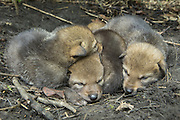 Coyote <br /> Canis latrans<br /> Three-week-old coyote pups in den <br /> Cook County, Illinois