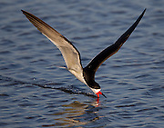 A black skimmer searches for food by skimming the water.