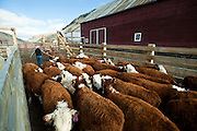PRICE CHAMBERS / NEWS&amp;GUIDE<br /> Cody Lockhart cuts out a calf for inspection on weening day at the Lockhart Cattle Company.