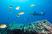 tiger shark, Galeocerdo cuvier, bluestripe snapper or ta'ape, Lutjanus kasmira, racoon butterflyfish, Chaetodon lunula, threadfin butterflyfish, Chaetodon auriga, and other reef fish, Honokohau, Kona, Big Island, Hawaii, USA ( Central Pacific Ocean )