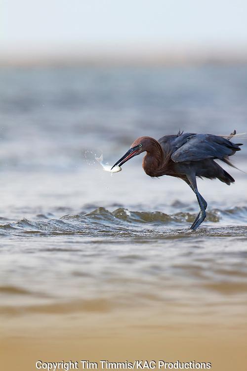 Reddish Egret, Egretta rufescens, Bolivar Flats, Texas gulf coast, catching a fish
