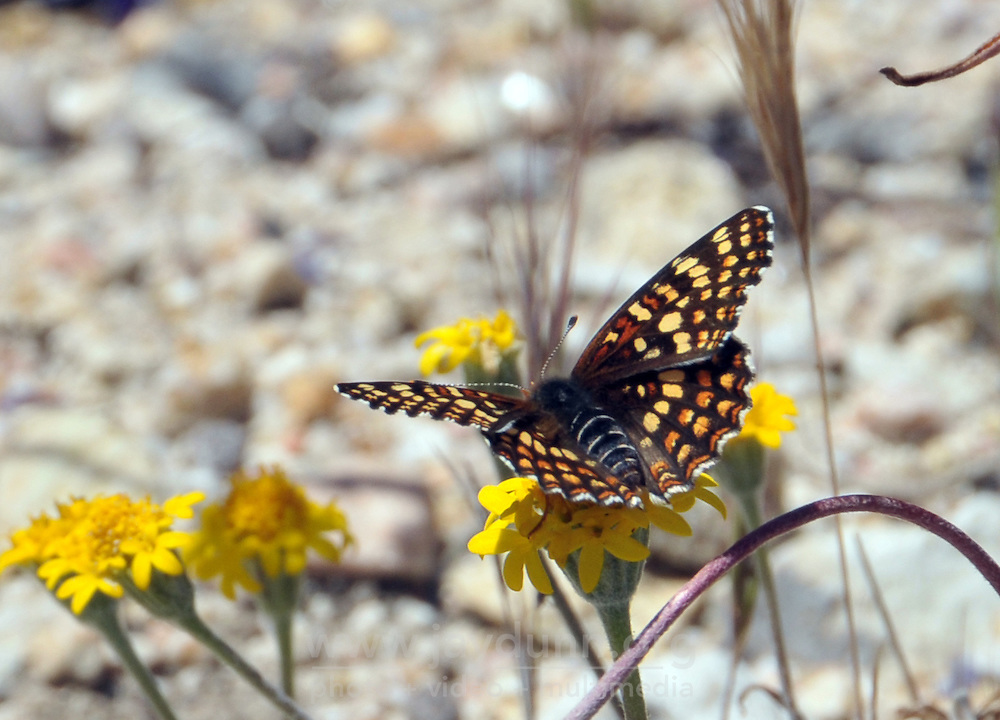 Butterflies by the thousands enjoy the wildflowers along the North Wilderness Trail at Pinnacles National Park near Salinas, CA.
