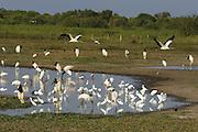 Congregation at Pond <br /> Caiman (Caiman yacare), Great Egret (Ardea alba), Limpkin (Aramus guarauna), Jabiru (Jabiru mycteria), Wood stork (Mycteria americana), Snowy egret (Egretta thula), Cocoi Heron (Ardea cocoi), Roseate Spoonbill (Platalea ajaja), Wattled Jacana (Jacana jacana), Black-necked stilt (Himantopus mexicanus)<br /> Pantanal, Brazil