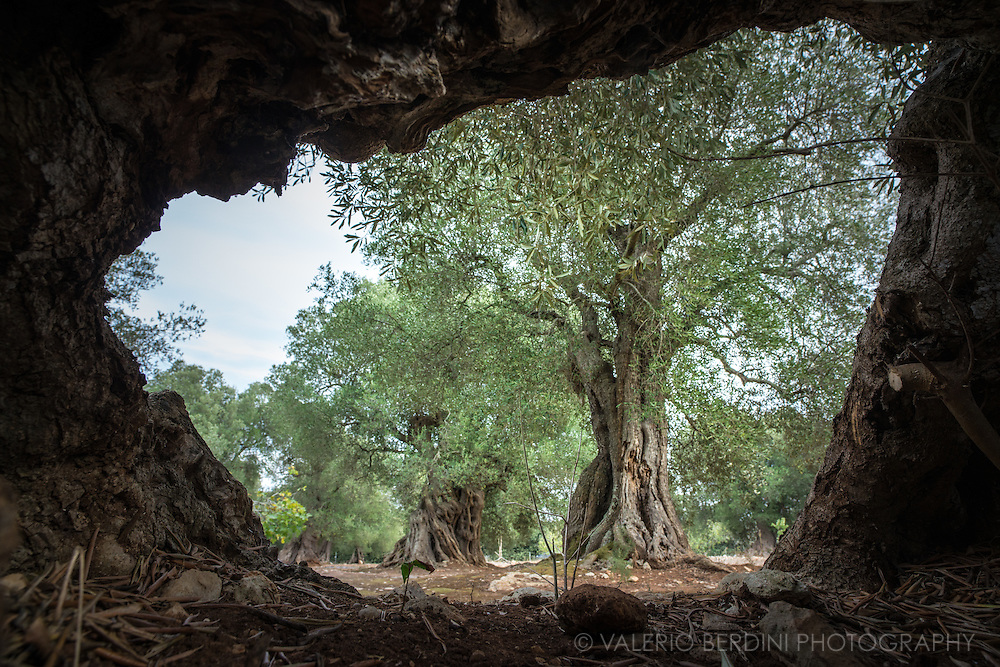 Ancient olive tree in Salento. Olive trees can live centuries some of Puglia olive trees are believed to be over a thousand of years old. Olive Trees in Salento.