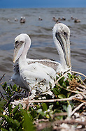Young pelicans on a barrier island in Plaquemines Parish in a rookery.