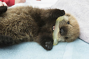 Sea Otter <br /> Enhydra lutris<br /> Three-week-old orphaned pup playing with chew toy<br /> Alaska Sea Life Center, Seward, Alaska