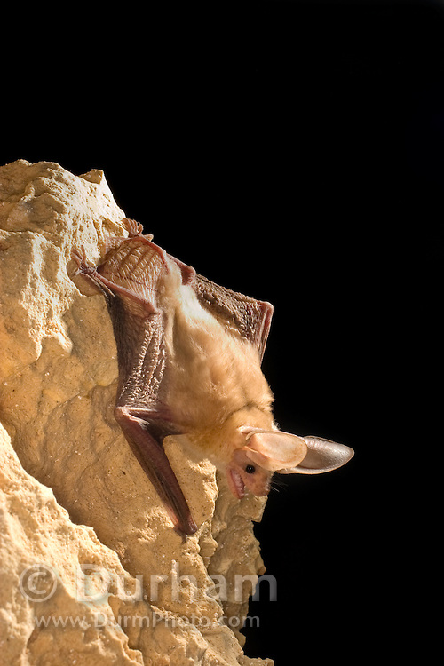 A pallid bat (Antrozous pallidus) roosting at night near Marble Canyon, Arizona.