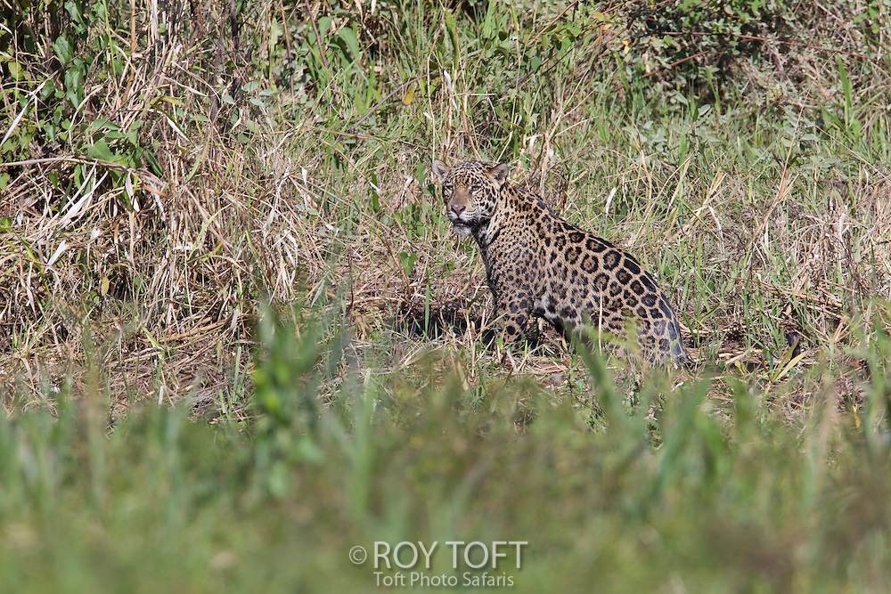 Jaguar (Panthera onca), Pantanal, Brazil