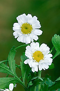 FEVERFEW Tanacetum parthenium (Asteraceae) Height to 50cm. Upright, much-branched and downy perennial that is strongly aromatic. Grows in disturbed ground, and on verges, waysides and old walls. FLOWERS are borne in daisy-like heads, 1-2cm across, that comprise yellow disc and white ray florets; in loose clusters (Jul-Aug). FRUITS are achenes. LEAVES are yellowish green and pinnately divided; lower leaves stalked, upper ones unstalked. STATUS-Introduced as a garden plant and widely naturalised, often in the vicinity of habitation.