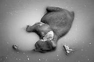 Sri Lanka. An adult elephant from the Pinnawala Elephant Orphanage resting in the Maha Oya river.