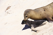 California Sea Lion <br /> Zalophus californianus<br /> Mother carrying pup by mouth<br /> San Miguel Island, Channel Islands NP, California<br /> A mother carries a young pup(less than 1 week old) in her mouth.