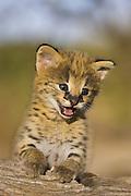 Serval<br /> Felis serval<br /> 2.5 week old orphan kitten<br /> Tanzania