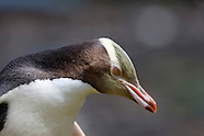 Megadyptes antipodes (Yellow eyed penguin)