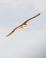 Barn owl flying in daylight, © 2013 David A. Ponton