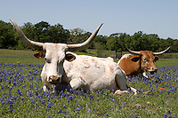 Longhorns and Bluebonnets, Brenham, TX