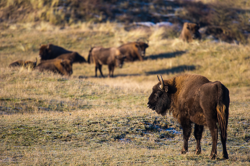 European bison (Bison bonasus) herd in the dunes