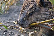 A beaver packing food to the den for winter storage in Yellowstone National Park