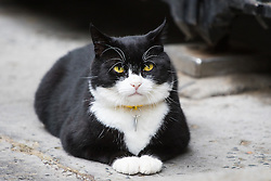 Downing Street, London, August 2nd 2016. Tensions appear to be ongoing in Downing Street as Larry the cat from No. 10 and Palmerston, newly resident at the Foreign Office continue their territorial feud. PICTURED: Palmerston relaxes outside the gates to the Treasury.