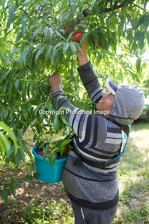 Gabriel Nava reaches to pick a peach from a tree early Wednesday morning at Cherry Creek Orchards in Pontotoc. The orchard is open from May through September, and is open 7 days a week during those months.
