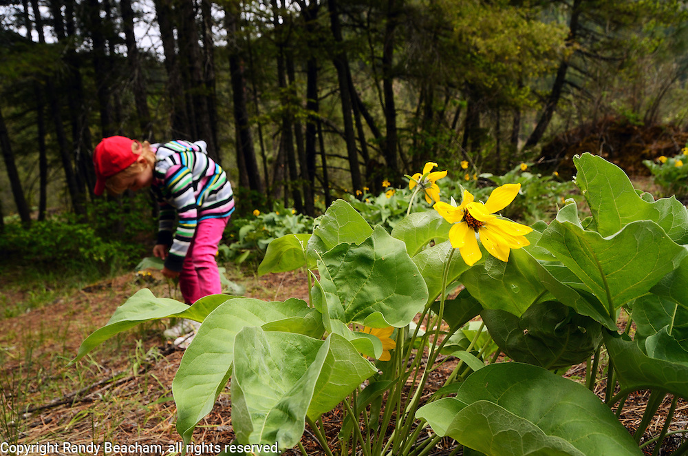Four yearl old Dixie Conrow checks out wildflowers like arrowleaf balsamroot by Kootenai Falls. Kootenai River Valley, northwest Montana.