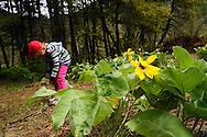 Four yearl old Dixie Conrow checks out wildflowers like arrowleaf balsamroot by Kootenai Falls. Kootenai River Valley, northwest Montana.