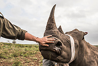 A conservation manager checks on the breathing rate of a partially sedated white rhino. Sedating a rhino for dehorning does carry inherent risks and animals are carefully monitored throughout the operation. Given the threat of poaching, dehorning is still considered viable and managers and vets would rather dehorn hundreds of rhino than have to undertake an autopsy on a single poached animal.