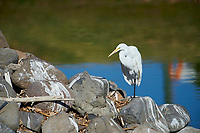 Great Egret (Ardea alba) standing on a rock at edge of Lake Chapala, Jocotopec, Jalisco, Mexico