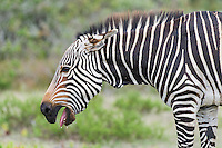 Cape Mountain Zebra with ears folded back and mouth open in submission, De Hoop Nature Reserve and Marine Protected Area, Western Cape, South Africa