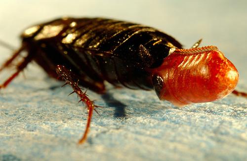 Küchenschabe Deutschland ~ oriental cockroach (blatta orientalis), female carrying an