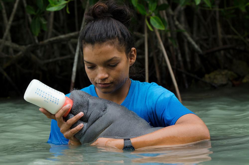 West Indian manatee (Trichechus manatus) <br /> Wildtracks<br /> Manatee Rehabilitation Center<br /> Sarteneja<br /> Belize,<br /> Central America<br /> & Jamilee Cruz
