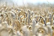 Nederland, Millingen, 7-8-2017 Een veld met tarwe, graan. Tarweveld, graanveld. Detail,graanstengels,associatie Foto: Flip Franssen