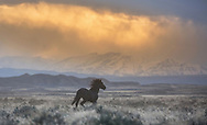 Spooked by an evening thunderstorm,  the band stallion, Lonesome, runs to his mares as they head for safety.